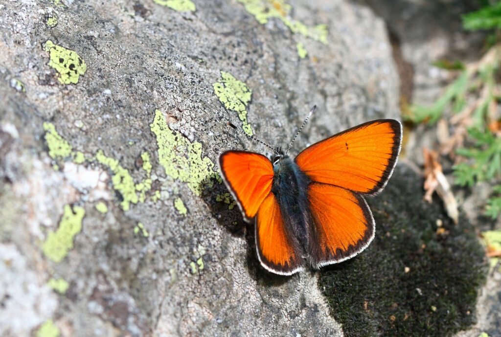 Violetrandet ildfugl, Lycaena hippothoe eurydame