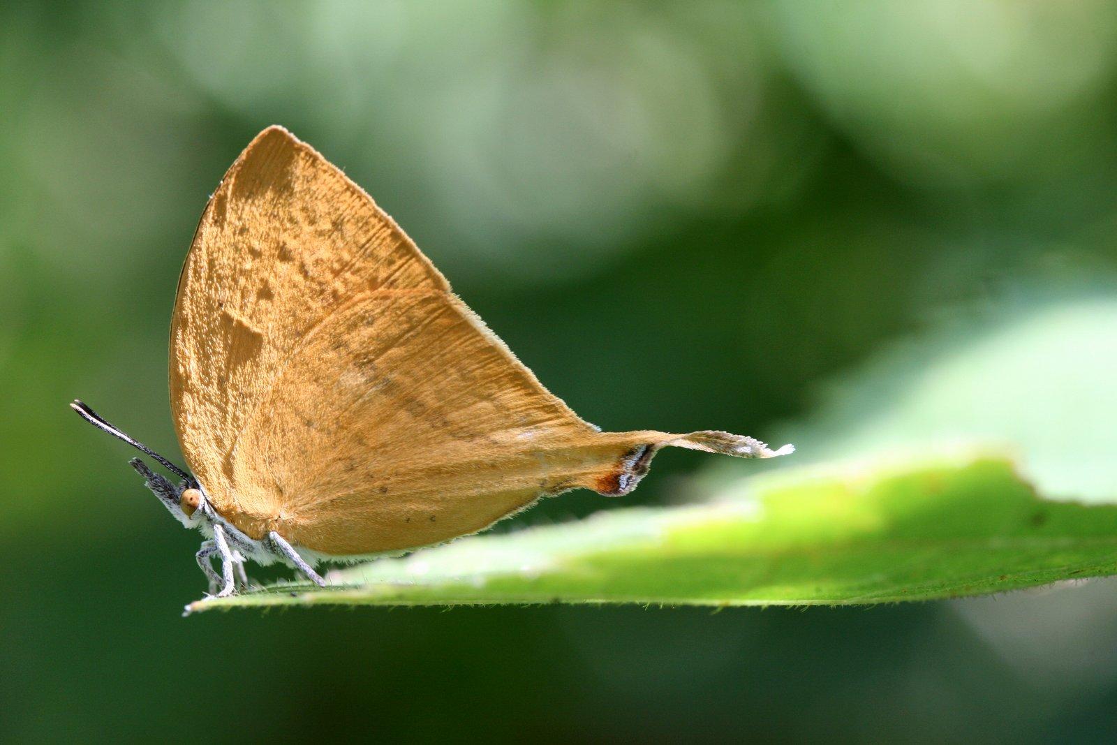 Yamfly, Loxura atymnus