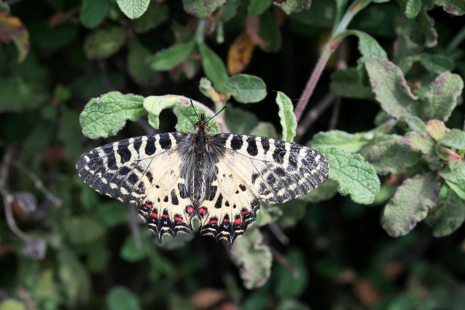 Østlig guirlandesommerfugl, Zerynthia cerisy