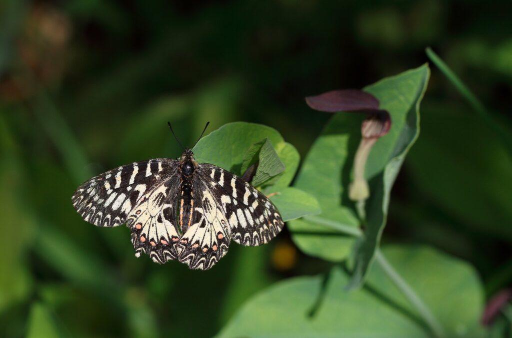 Guirlandesommerfugl, Zerynthia polyxena