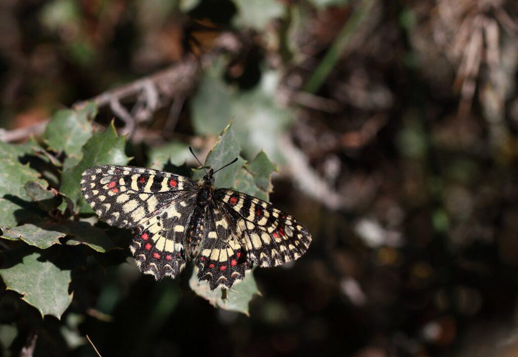 Vestlig guirlandesommerfugl, Zerynthia rumina