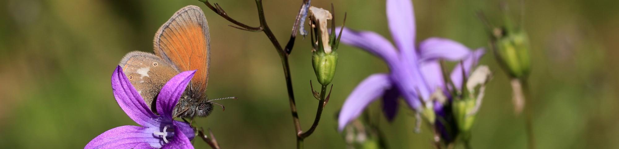 KajsNatur – Sommerfugle, Butterflies